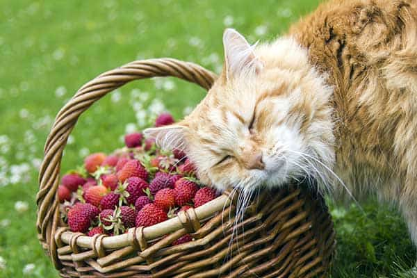 are strawberries bad for cats