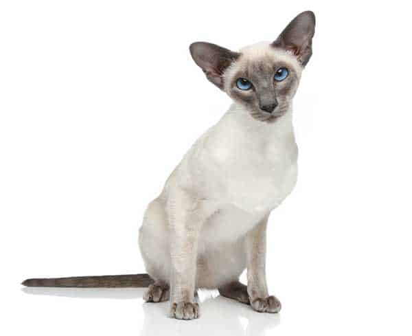Blue Point Siamese Cat Price