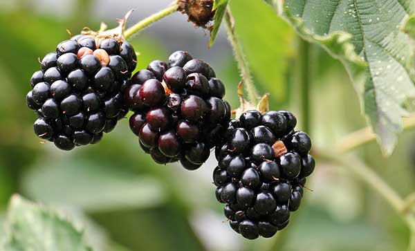 are blackberries good or bad for cats?