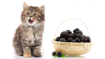 can cats have blackberries