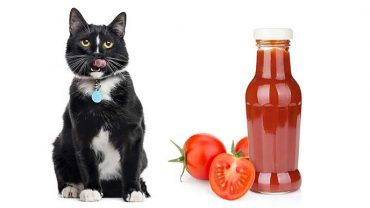 can I give my cat ketchup?
