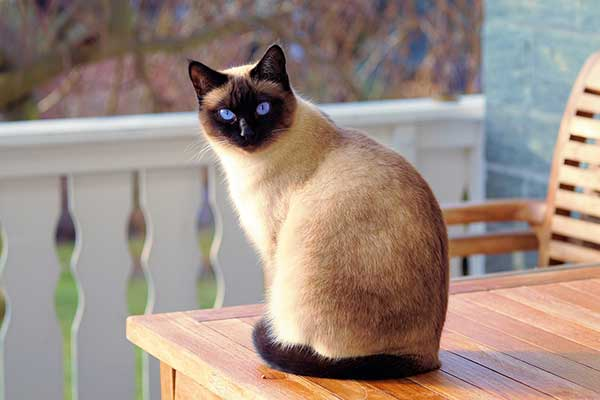 Siamese cat cost