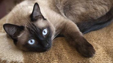 Siamese cat price