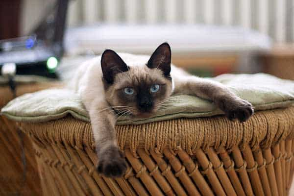 Adorable Siamese Cat