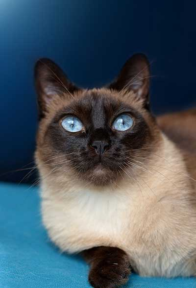 how expensive are Siamese cats?