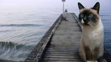 why do siamese cats like water?