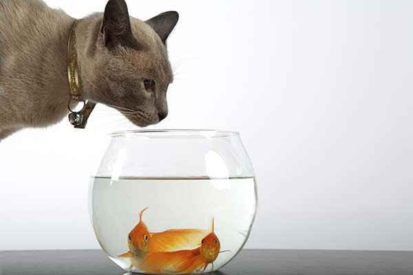 Siamese cat playing with golden fish