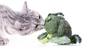 Can Cats Eat Broccoli?