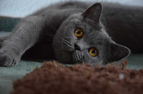 cute British shorthair cat