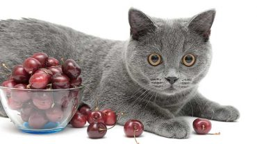 Can I Give My Cat Cherries?