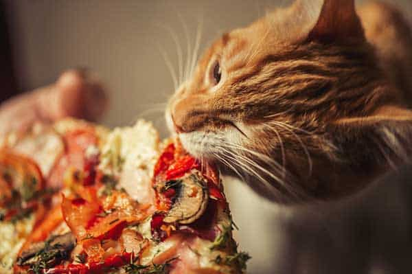 Cat eating pizza