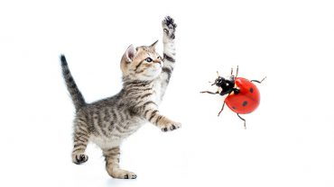 are ladybugs poisonous to cats?