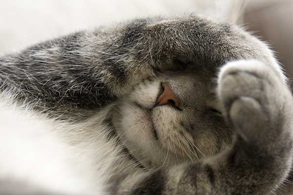 gray cat with paws over face