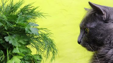 Can cats eat dill?