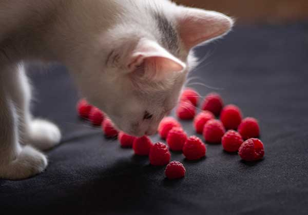 how many raspberries can cats eat?