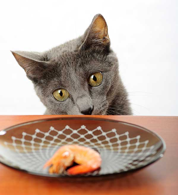 Can Cats Get Sick From Eating Shrimp?