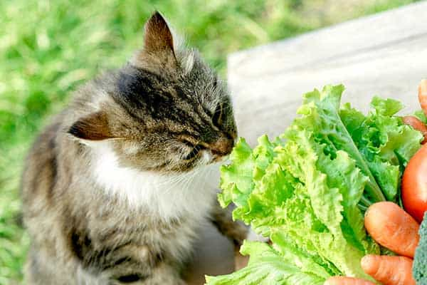 IS LETTUCE SAFE FOR A CAT TO EAT?