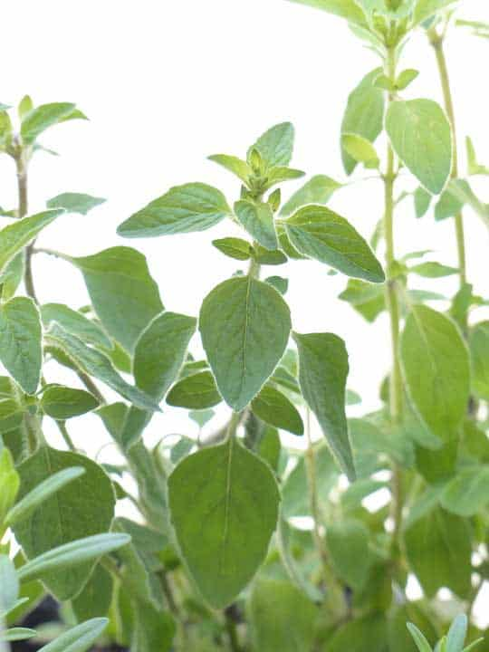 Is Oregano Safe For Cats? Here Is an In-depth Analysis