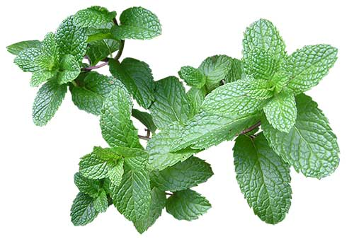 are mint leaves safe for cats?