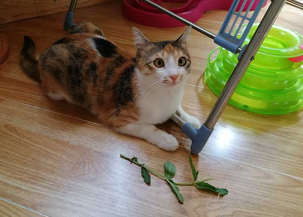 is mint good for cats?