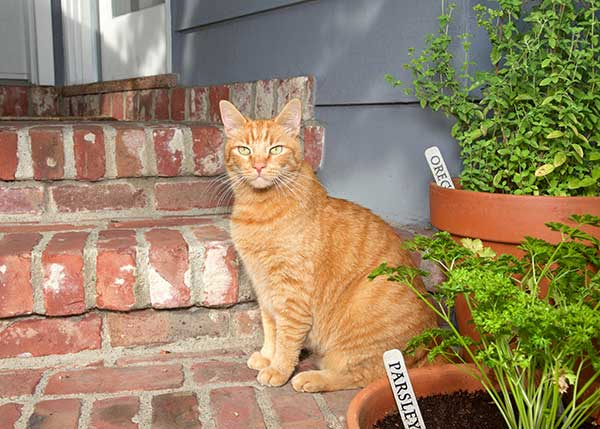 is oregano safe for cats?