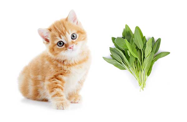 is sage safe for cats?