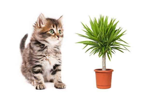 Is Yucca Poisonous to Cats?