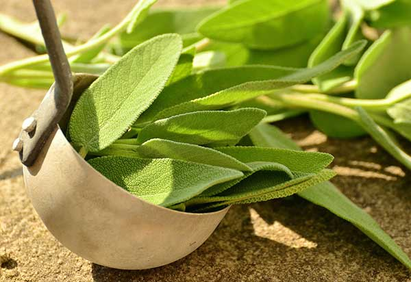 is sage leaves safe for cats?