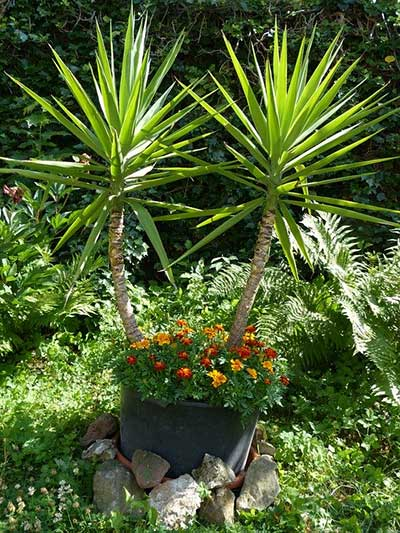 is yucca healthy for cats?