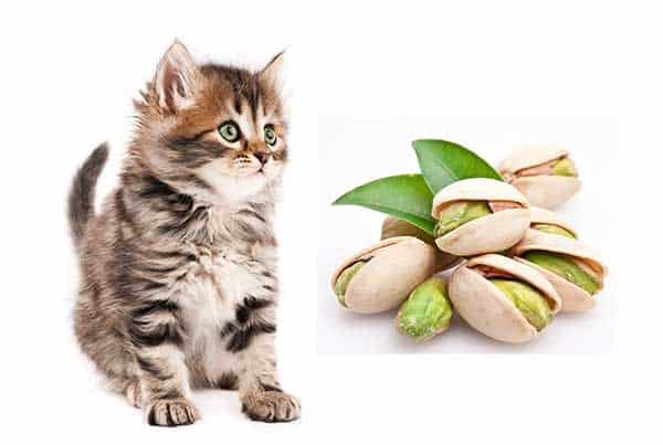 Can Cats Eat Pistachios?