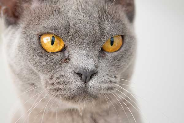 angry gray cat face