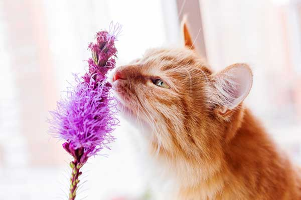 are lilacs harmful to cats?