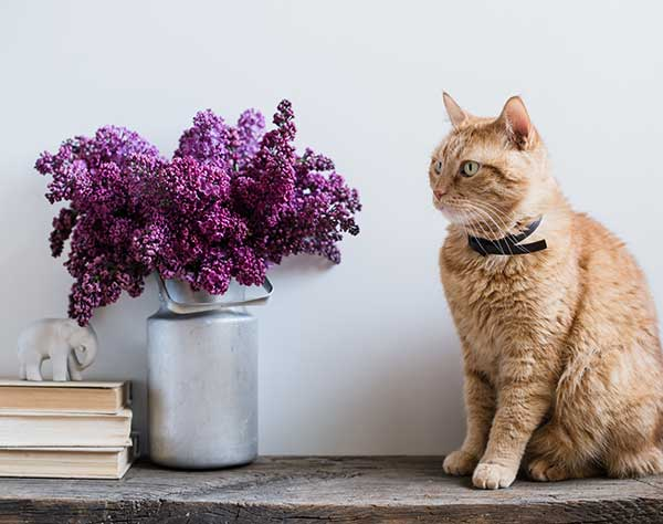 are lilacs poisonous to cats?