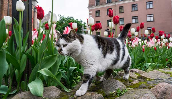 are tulips dangerous to cats?