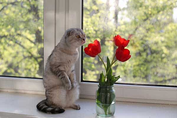 are tulips toxic to cats?