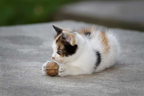 can cats eat walnuts?