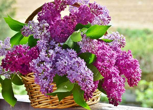 are purple lilacs poisonous to cats?