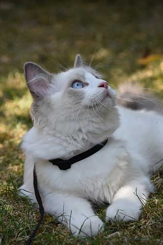 cute ragdoll cat laying down