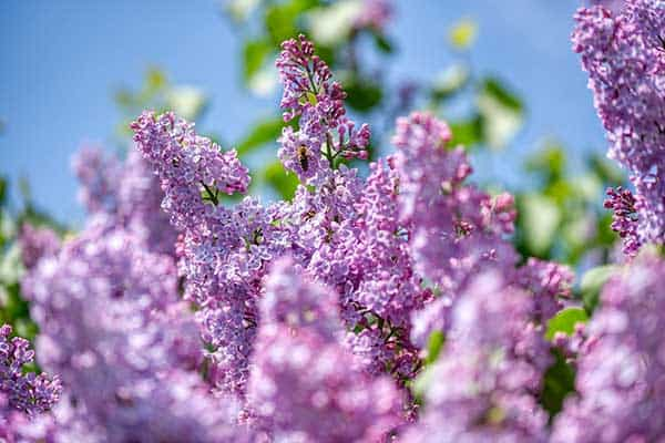 lilacs and cats