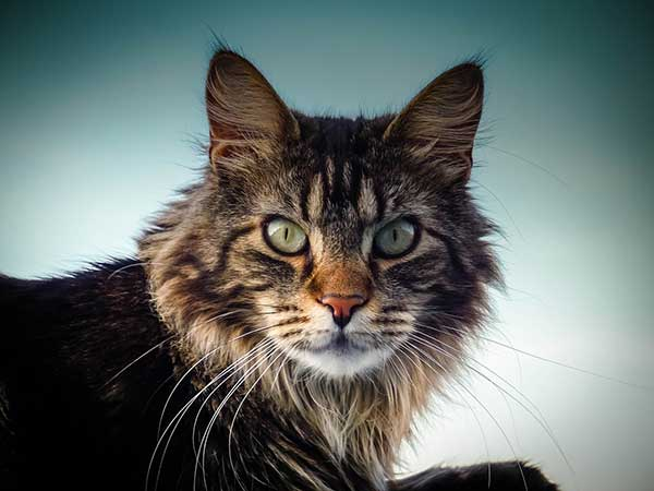 Why are Maine Coon cats so big?