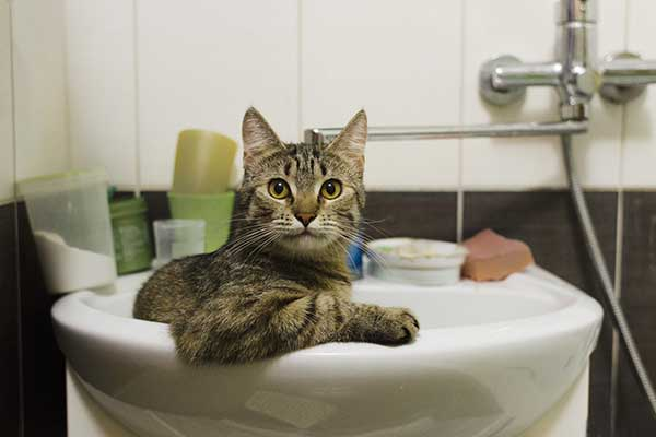 reason of cat peeing in the sink