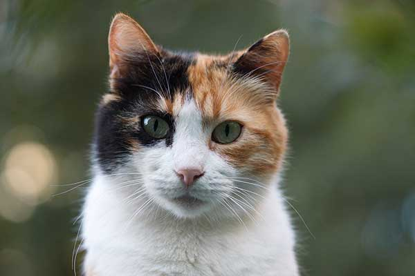 Do Calico Cats Shed?