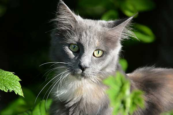 cute gray colored main coon kitten