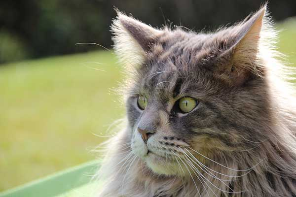 longhair maine coon cat