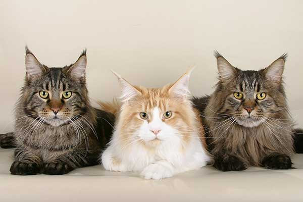 three maine coon cats