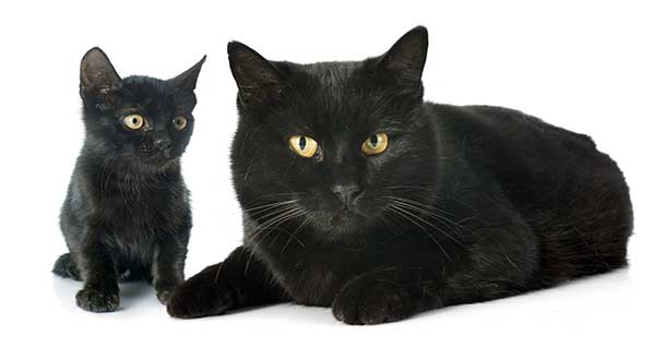 adorable black kitten with her mother
