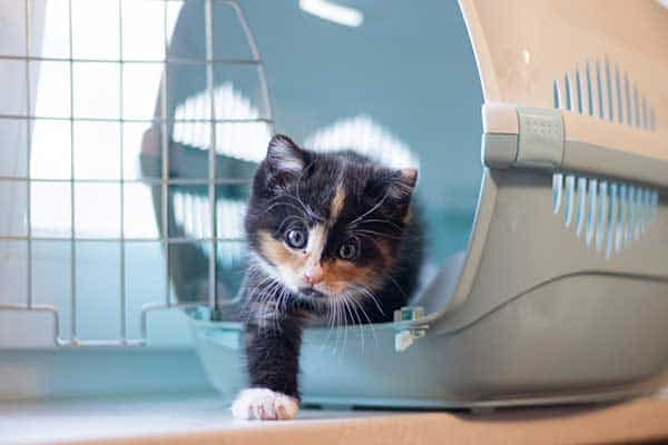 cute black and white kitten in carrier