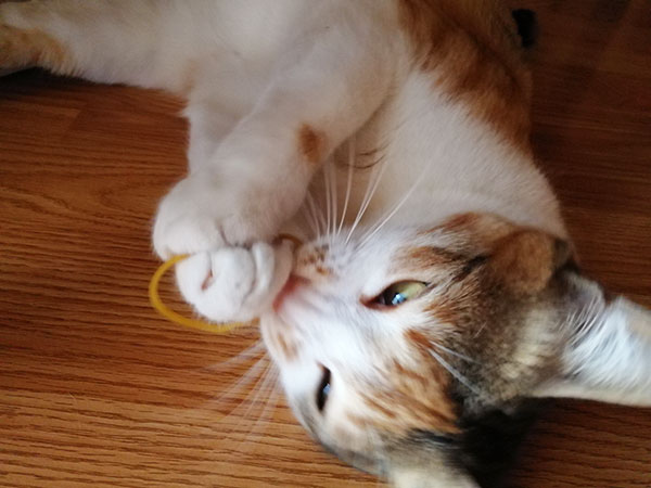 Cat eating and playing with rubber band