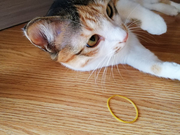 Cat playing with rubber band