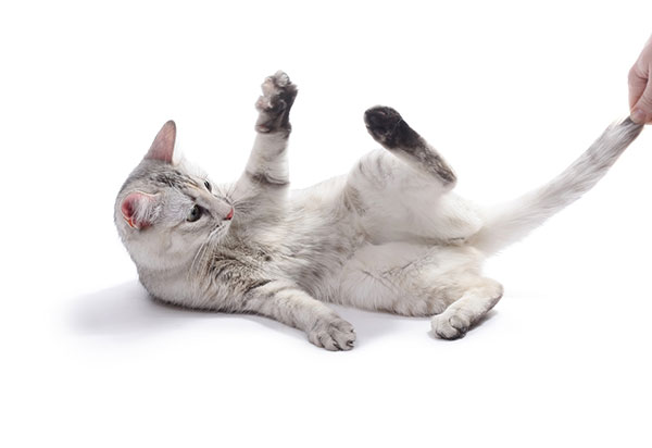 Why Do Cats Chase Their Tails?